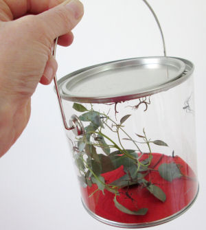 Baby Australian stick insects in HUA pot
