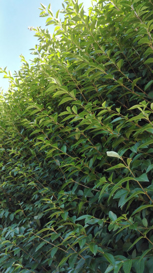 green privet leaves